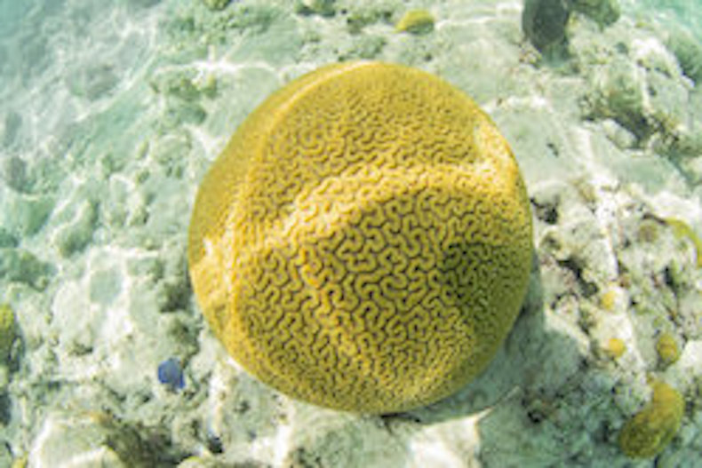 Grammatical-Reasoning-brain-coral
